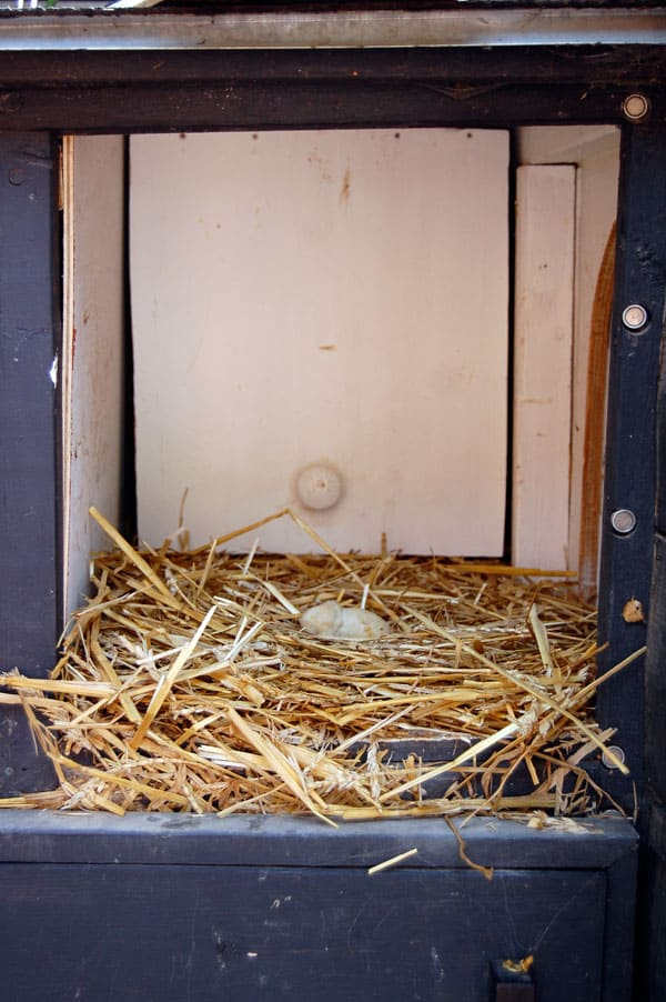 lash-egg-in-nesting-box