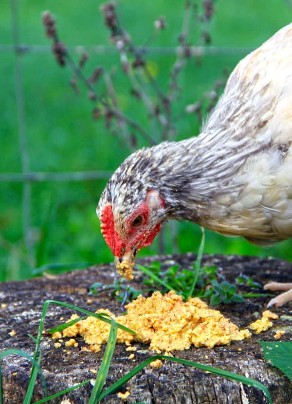 How To Ferment Chicken Feedgger Eggs Healthier Chickens The