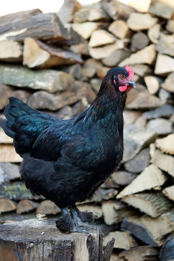 black-copper-marans-hen-2