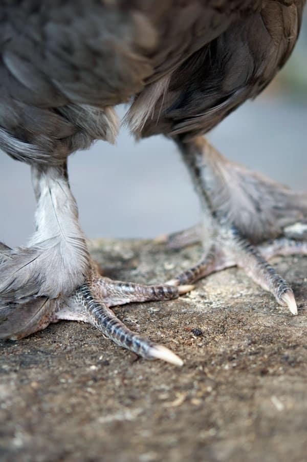 blue-copper-marans-feet