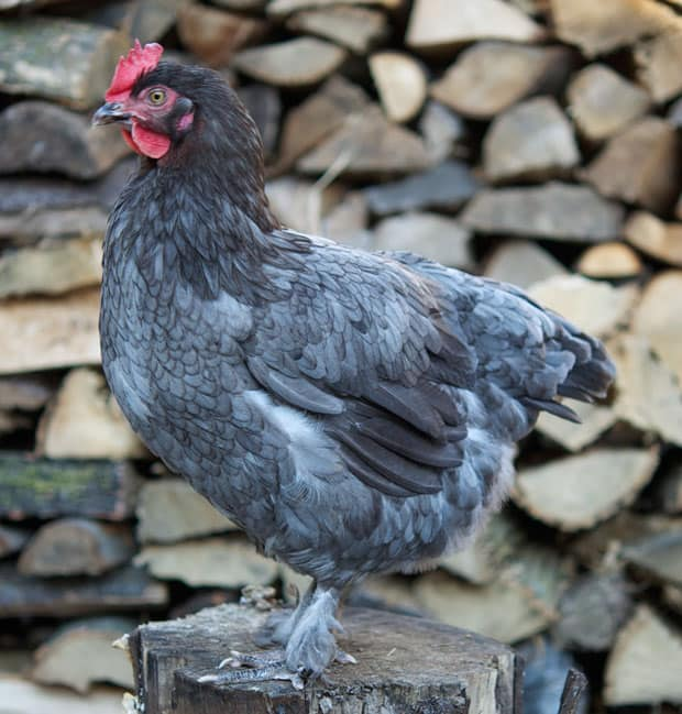 blue-copper-marans-hen-mabel-6
