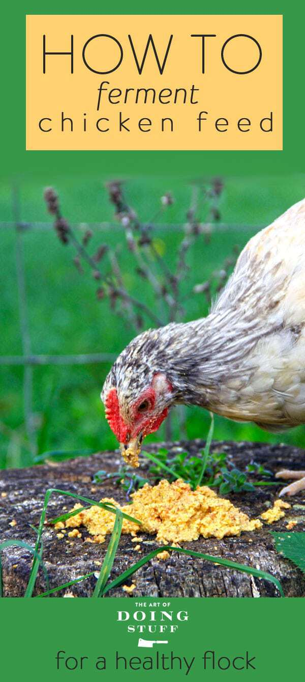 How to Ferment Chicken Feed for Healthier Chickens.