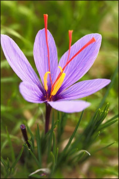 crocus_sativus_(saffron_crocus)_1-1