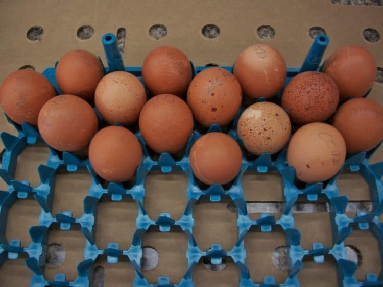 black_copper_marans_eggs