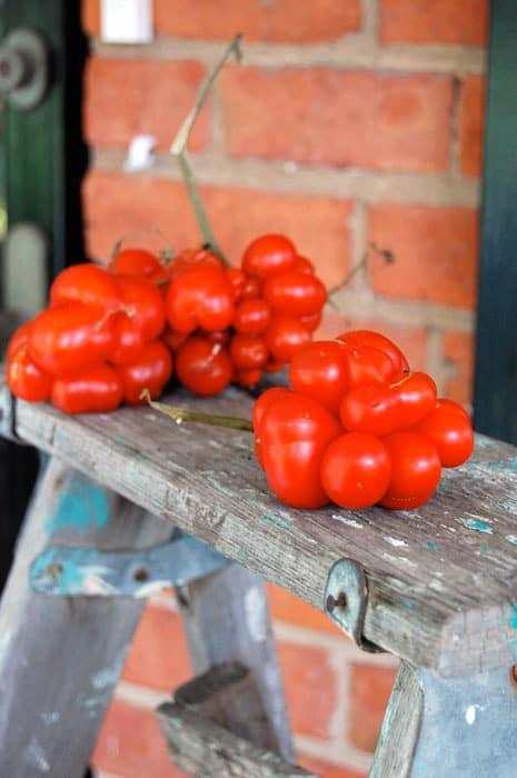 warty-tomato