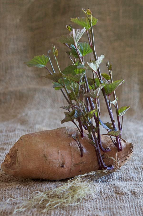 Sweet-Potato-slips-2