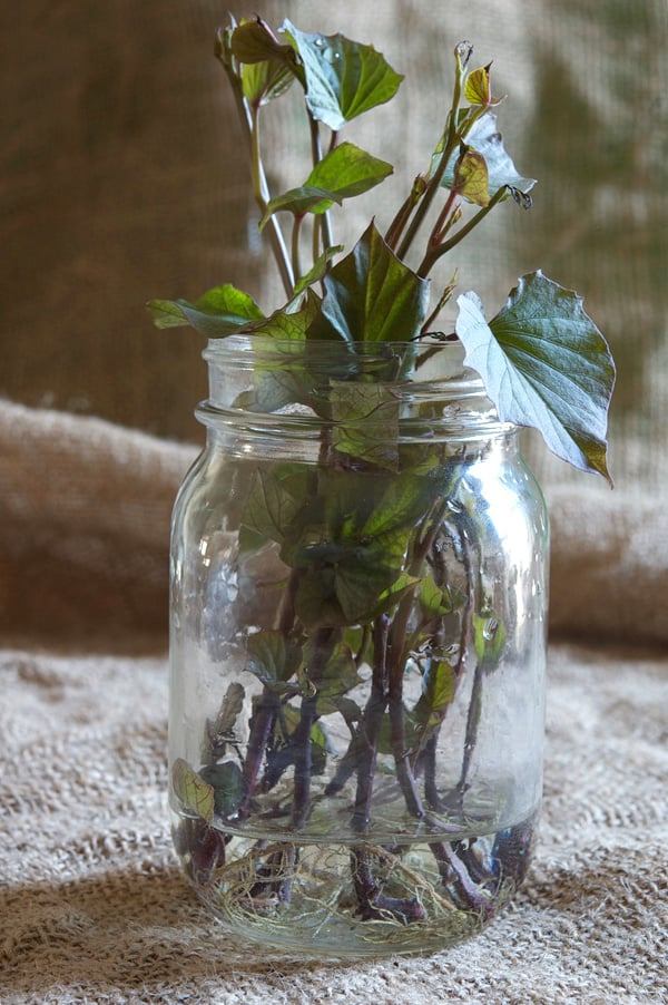 A mason jar filled with rooting sweet potato slips on a burlap backdrop.