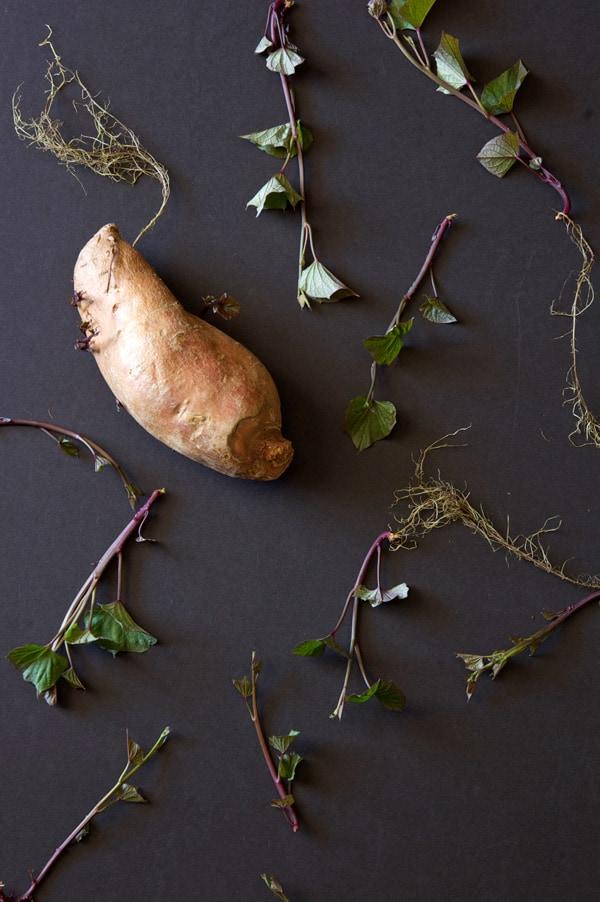 sweet-potato-slips-overhead