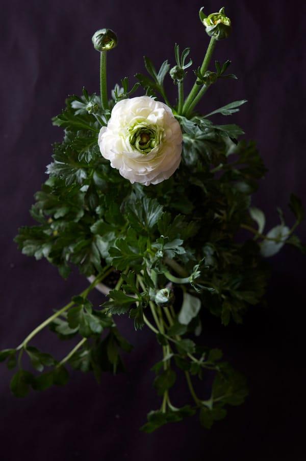 white-ranunculus-3