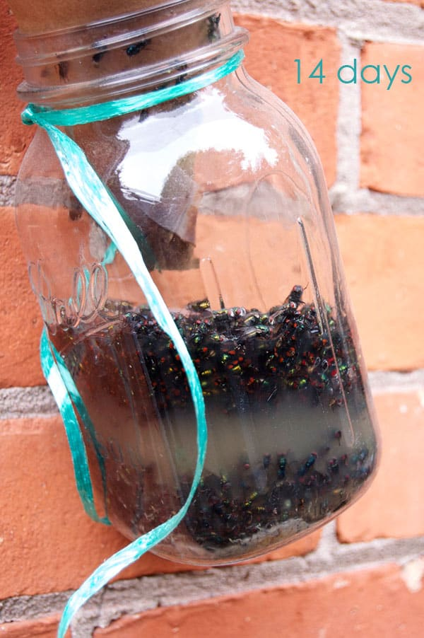Mason jar fly trap hanging on exterior red brick wall, filled with flies after 14 days.