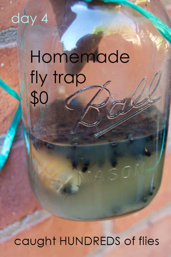 Homemade fly trap filled with hundreds of flies, showing how well a piece of shrimp works as fly bait.