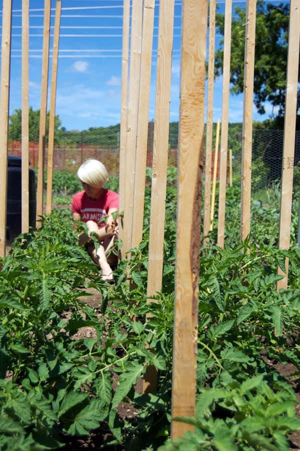 tomato-pruning-1
