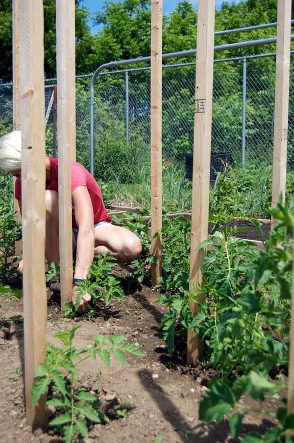 tomato-pruning-10