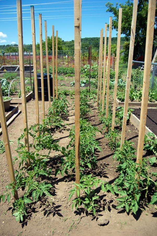 tomato-pruning-11