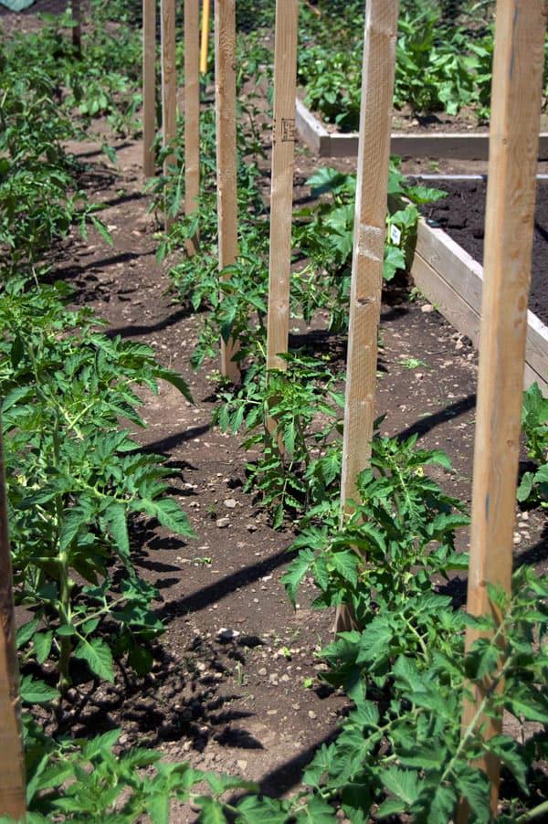 tomato-pruning-12