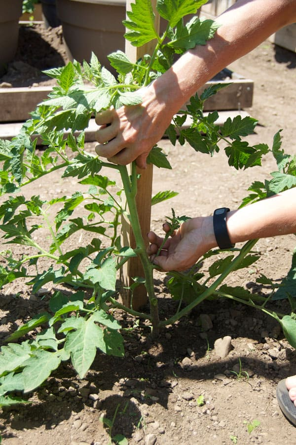 tomato-pruning-8