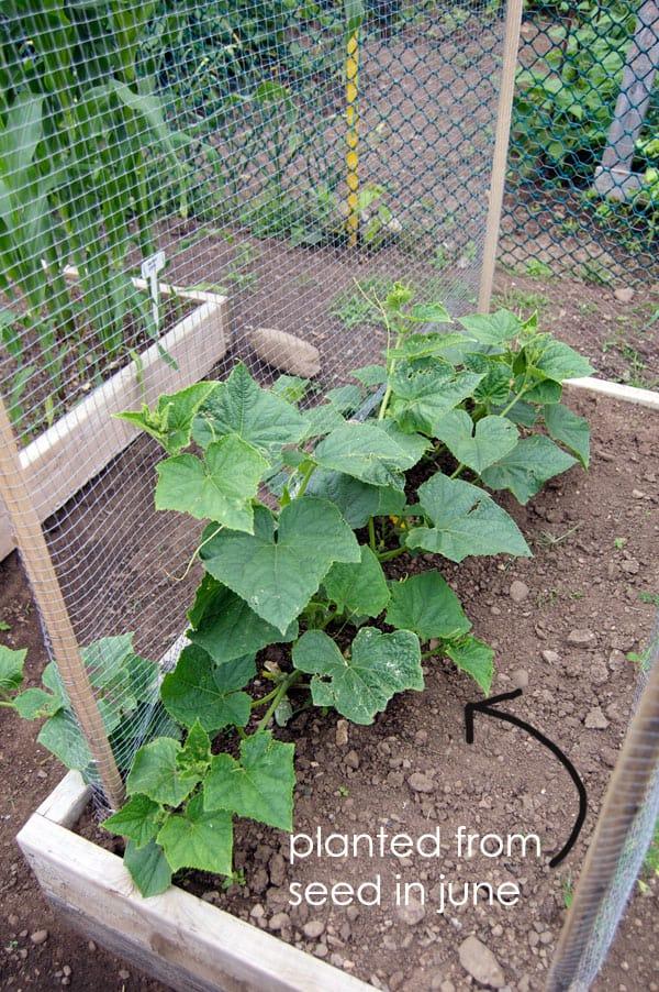 Eureka-cucumber