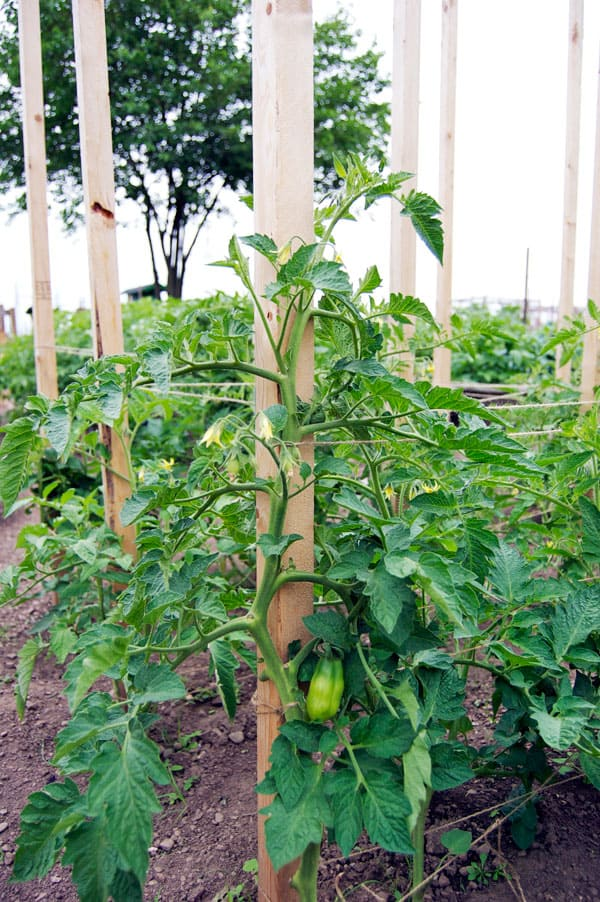unripe-San-marzano-tomato