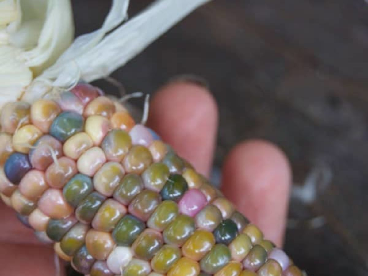 Glass Gem Corn The Corn So Beautiful It Broke The Internet The