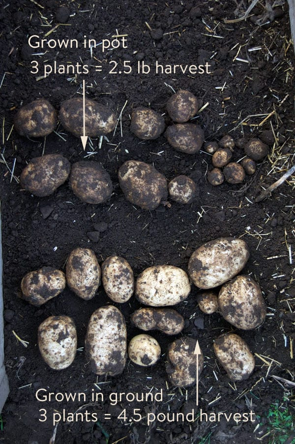 potato-harvest-pot-versus-ground