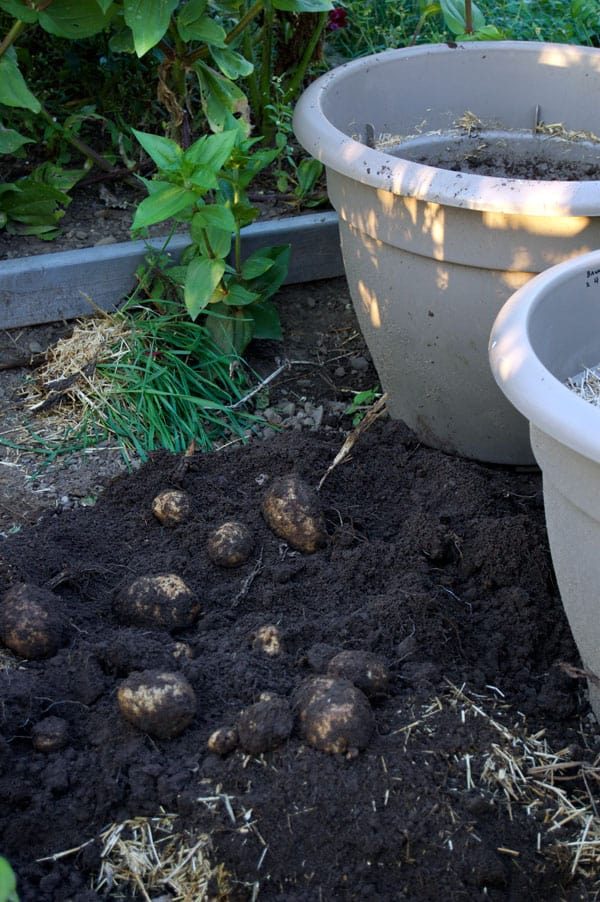 potato-harvesting-from-pots