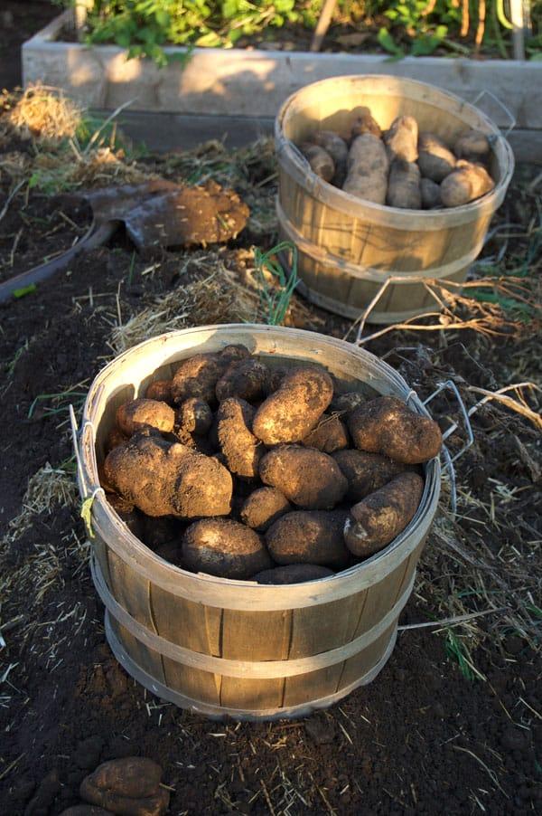 potatoes-in-baskets