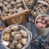 The Potato harvest.  Pots versus plots.