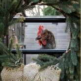 A HOLIDAY MESSAGE FROM THE CHICKENS.