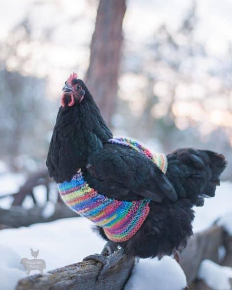 Chicken in a multicoloured, knit sweater-vest.
