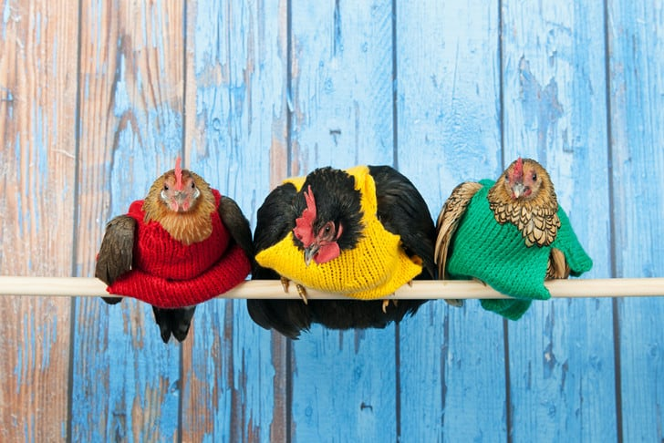 Three chickens in a row sitting on a dowel, each wearing a primary coloured sweater.