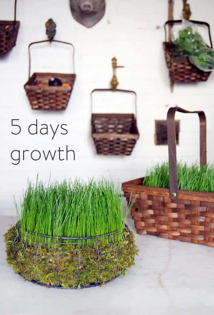 Grass Easter basket after 5 days growth.