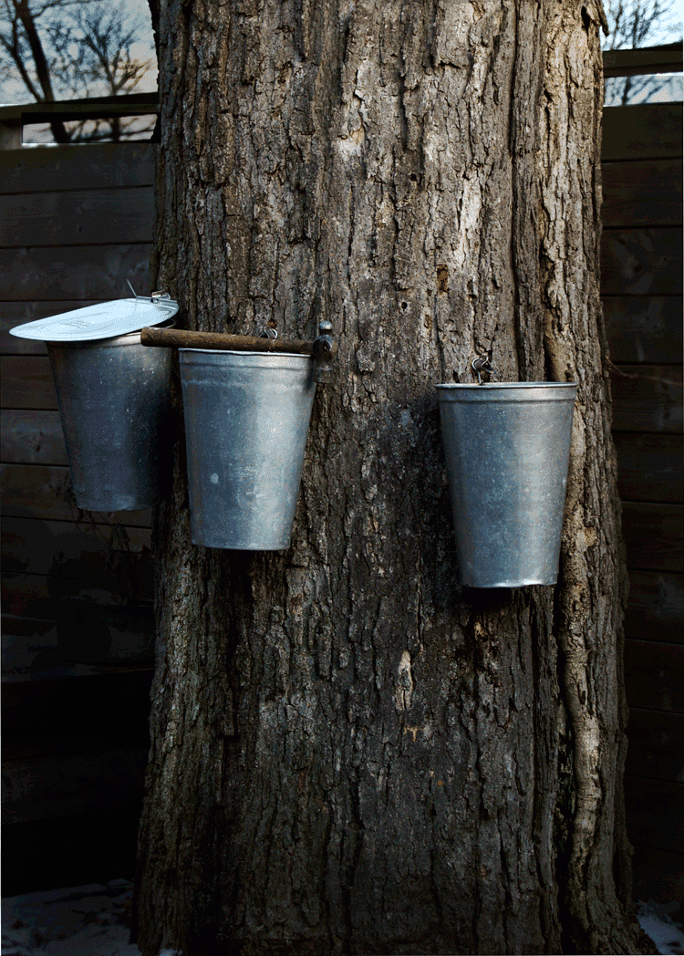 f0d3c86a25c How to Tap a Maple Tree For Making Maple Syrup.The Art of Doing Stuff