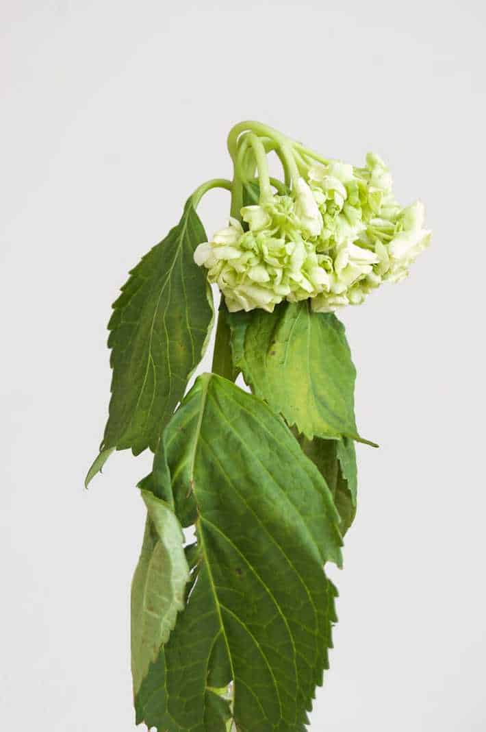 really-wilted-hydrangea