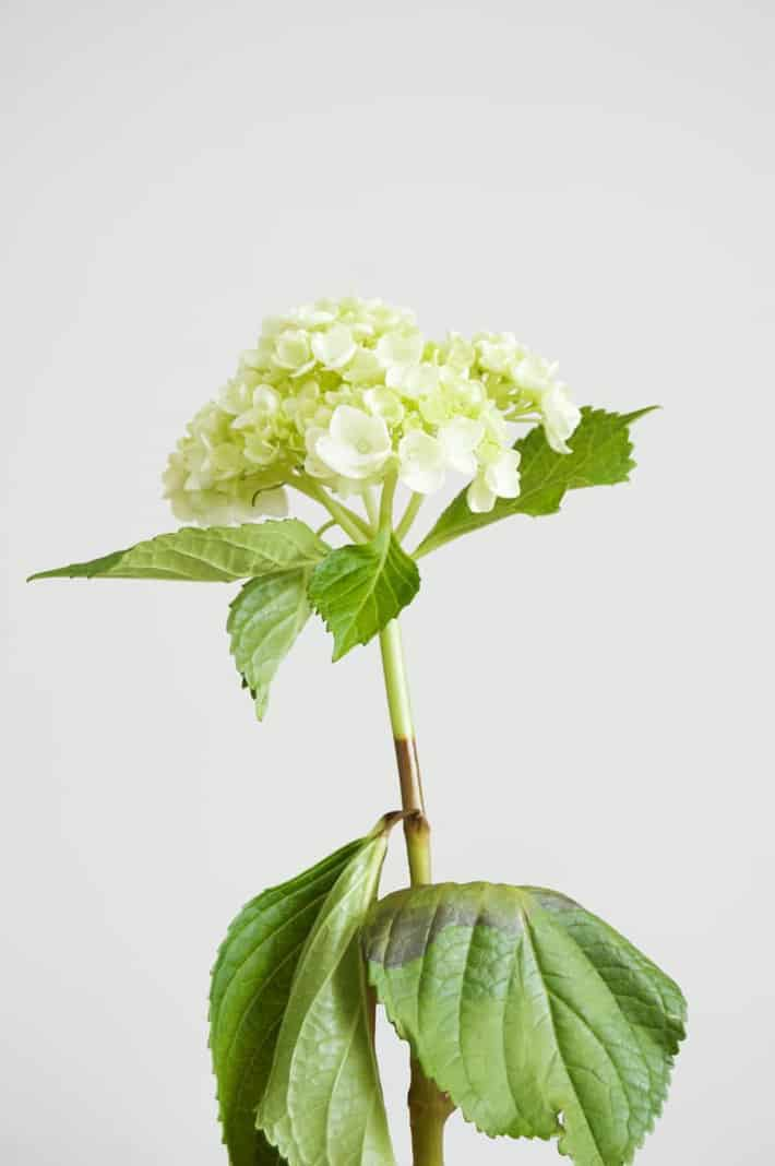 revived-hydrangea