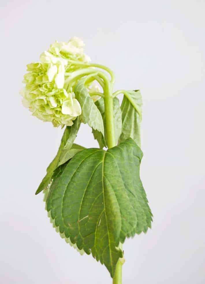 wilting-hydrangea