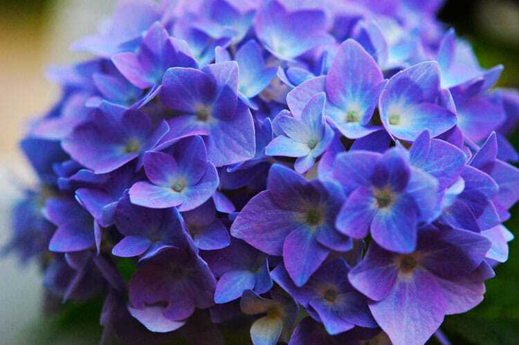 how to turn your pink hydrangeas blue.the art of doing stuff, Natural flower