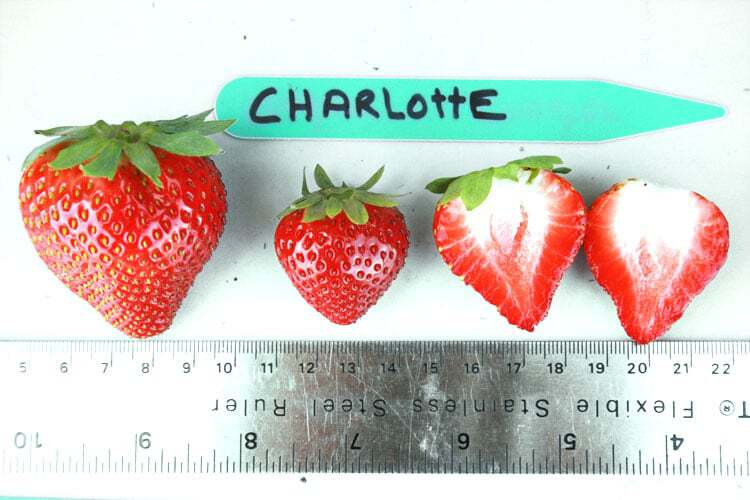 charlotte-strawberry