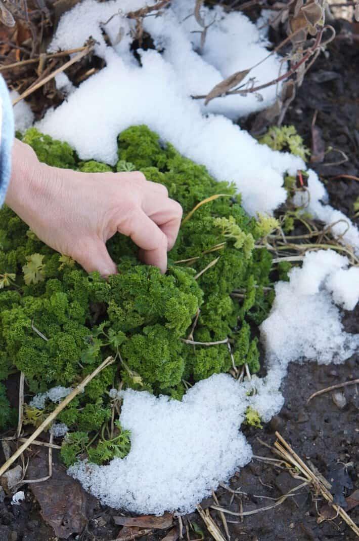 picking-parsley