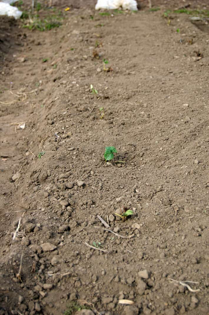 strawberry-patch-planted-2