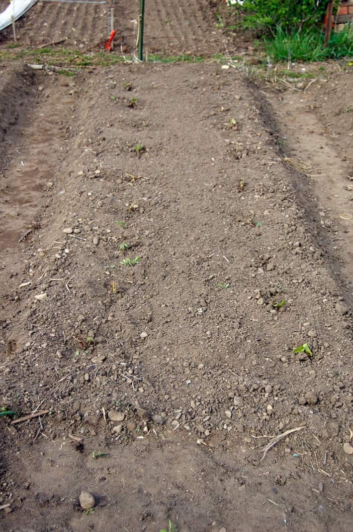 strawberry-patch-planted