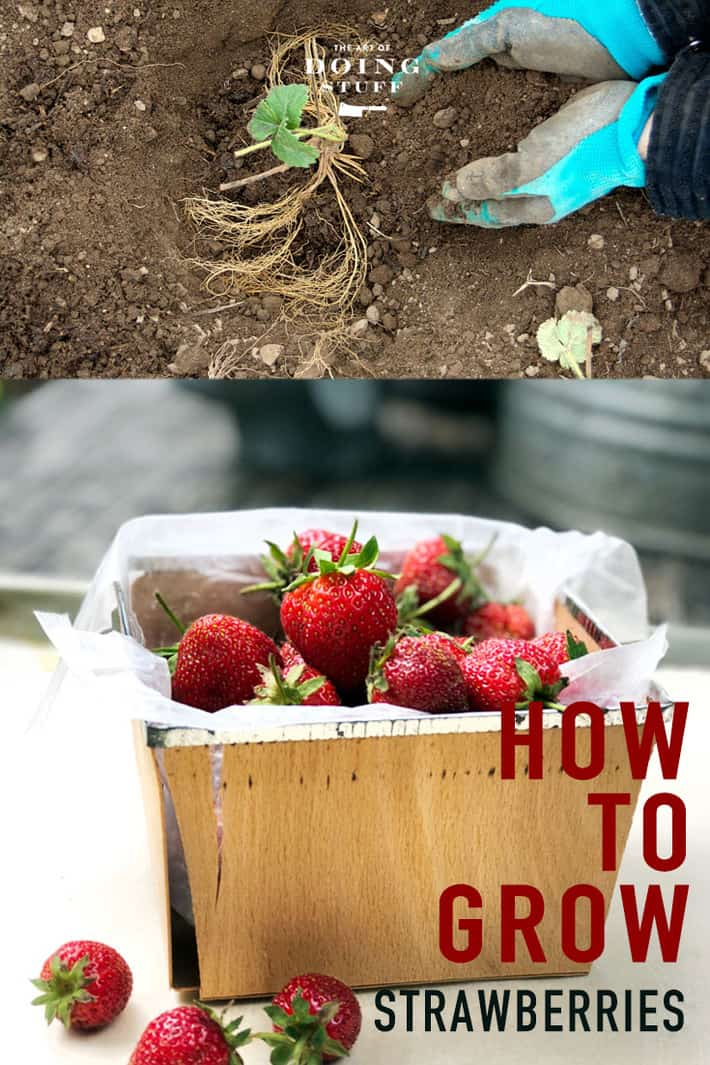 How to Grow Strawberries & Which Type Is The Best.