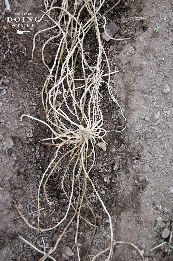 asparagus-crowns-2