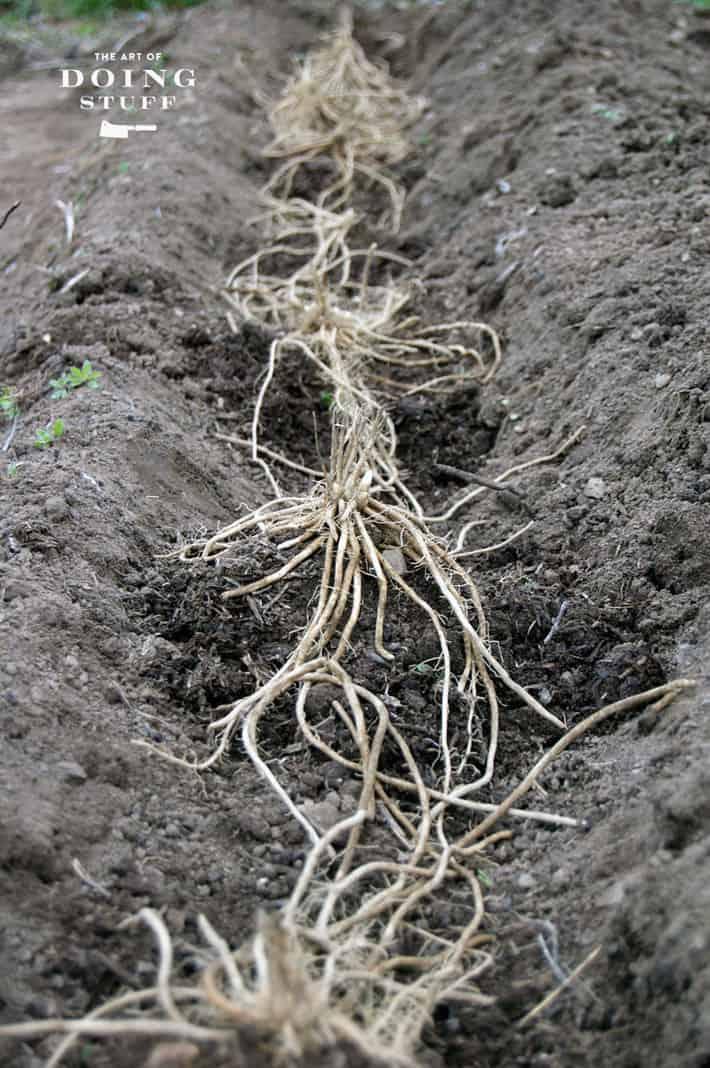 asparagus-crowns