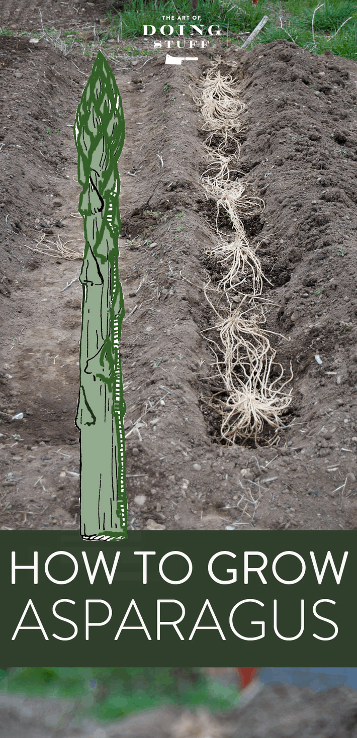 How to Plant Asparagus. Now\'s the Time!