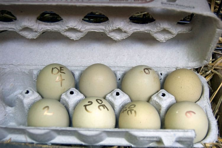 fertilized-Olive-Egger-eggs