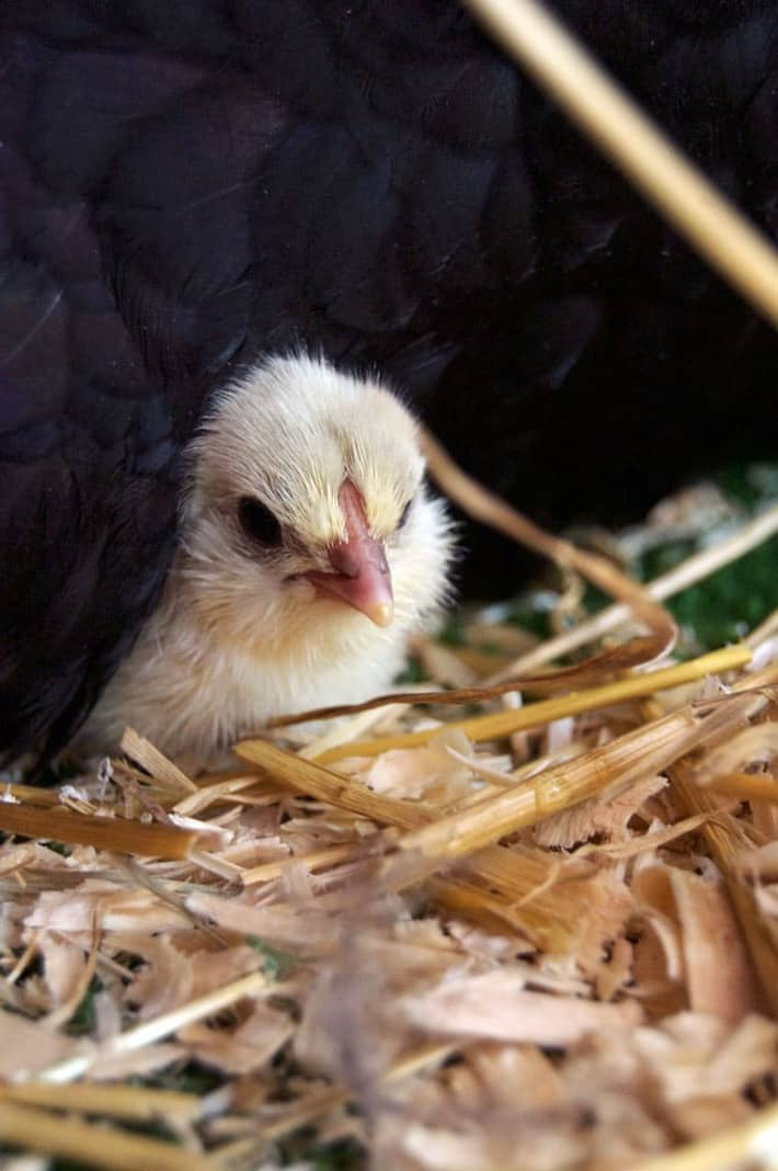 newborn-chick