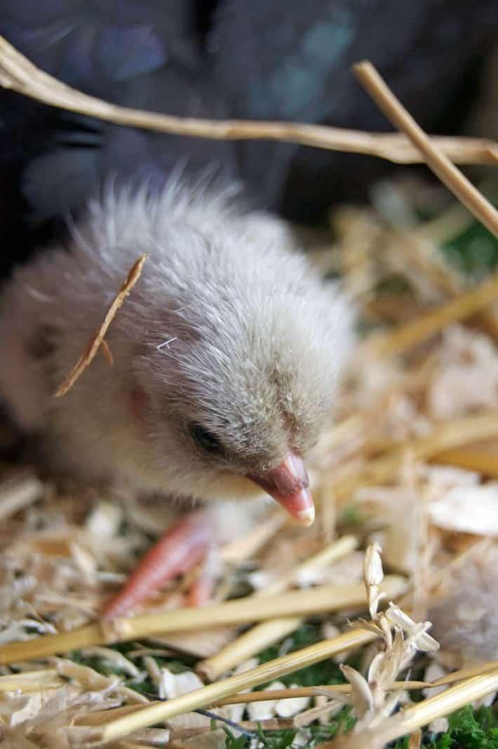 olive-egger-chick