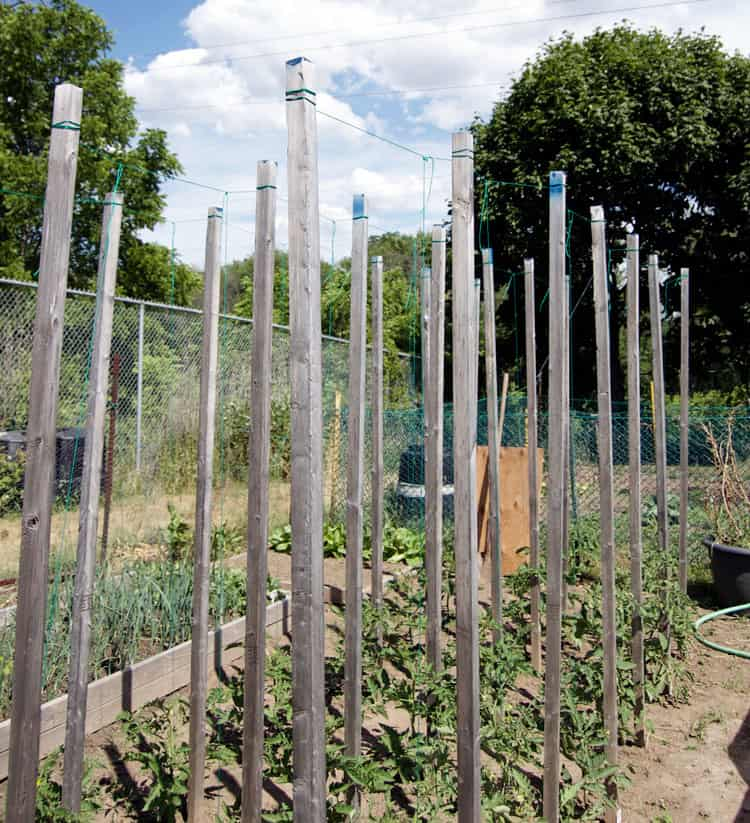 Using the string method to grow tomatoes in a large garden on a summer day.