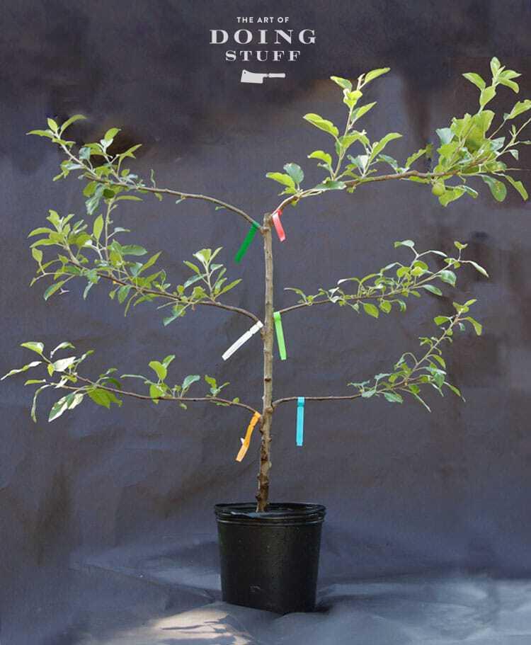 6 In 1 Apple Tree One Tree Six Varieties Of Apples The Art Of
