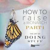 How To Raise a Monarch Butterfly. Part 1.